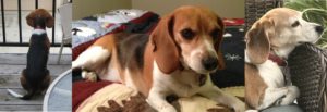 Three ages of Miss Matilda Beagle